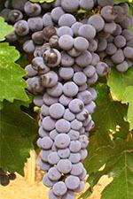 Cabernet Sauvignon druif