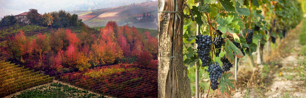 Druiven in Piëmonte