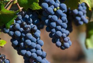 Negroamaro grape
